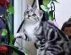 家养纯种美短 加白 起司猫 银虎标斑 折耳 立耳