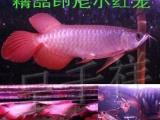 龙鱼活体金头过背金龙鱼 印尼超血麒麟红龙红龙批发