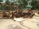 安徽寿县食用土鸡斑嘴鸭家禽出售
