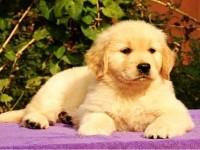 出售纯种大骨量美系大脑袋的贵阳金毛犬 带健康证书