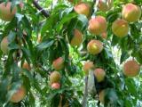 阳山水蜜桃打通线上线下,买新品种桃树产品,售后有保障