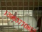 宠物兔出售出售高产长毛兔