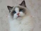 布偶猫咪,海豹双色,蓝双色,弟弟妹妹出售