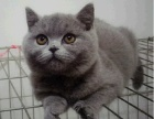 英短蓝猫一蓝白一银渐层一金吉拉宠物猫一欢迎可上门看猫