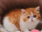 加菲猫宠物猫异国短毛猫活体江浙沪可送货上门全国包邮