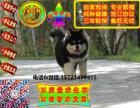 在哪里买纯种的阿拉幼犬 阿拉斯加幼犬最低多少钱