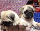 聪明可爱的巴哥幼犬出售