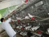 鄭州鴿子養殖加盟 包回收 包技術 包種鴿 包籠具