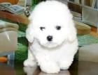 出售繁殖比熊幼犬健康保证多只挑选好品相毛色好