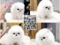 狗场直销哈多利幼犬 出售博美小型犬 购宠签协议 送宠物用品