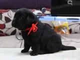 出售纯种拉布拉多 黑色黄色咖啡色拉多幼犬可挑选