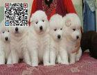 哪里出售大白熊 纯种大白熊犬多少钱