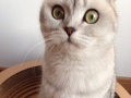 猫舍直销纯种家养幼猫 银渐层 渐层折耳,包售后包健康