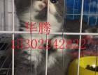 广东大型猫舍繁殖出售纯种短毛猫英国短毛猫蓝猫美国短毛猫价格