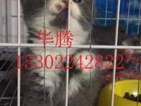 中山正规猫舍繁殖出售蓝猫短毛猫蓝白美短渐层金吉拉小猫价格