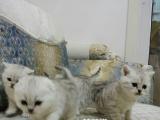 纯种折耳猫 蚌埠家庭猫舍 可爱亲人