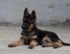 最新锤系德国牧羊犬价格 大头民间德牧中国牧羊犬**
