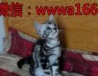 美短加白猫 美短加白起司猫美国短毛虎斑猫幼猫宠物猫活体