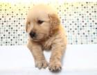 (300一只)给我家一窝纯种萨摩耶幼犬找爱心好主人
