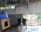 15个月的母边境牧羊犬转让