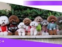 武汉可三百出售金毛 哈士奇比熊 泰迪 博美雪纳瑞犬品种齐全