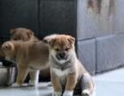 玉树日系柴犬多少钱 玉树赤色柴犬的价格是多少 黑色柴犬怎么卖