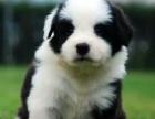 狗场直销纯种赛级边境牧羊犬幼犬-犬类排名第一
