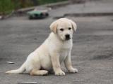 宠物繁殖基地长期出售拉布拉多幼犬 保证品质健康