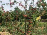 山东烟台矮化嫁接黑珍珠樱桃苗北方南方种植大樱桃车厘子树苗价格