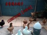 出售种鸽 各种观赏鸽子 品种繁多