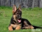 纯种德国牧羊犬出售 疫苗和驱虫均已做完/可签协议
