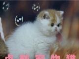 猫舍繁殖红白梵两色三色加菲猫有血统,保证健康