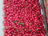 南北方适不适合种植布拉樱桃苗(实地考察去哪)布拉樱桃苗供应商