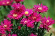 潍坊具有口碑的荷兰菊供应_荷兰菊种子
