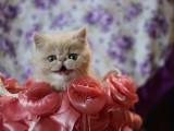 多只精品加菲猫宝宝疫苗驱虫已做好喜欢就速速下单!