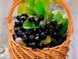 黑树莓苗灯笼果苗黑加仑苗蓝莓苗哪里的好