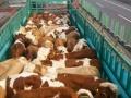 山西牛犊多少钱一头,山西五台山养牛厂