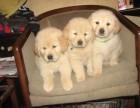 家养金毛宝宝,狗贩勿扰,只求给狗狗一个温暖的家