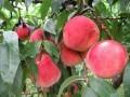 安宁白凤桃水蜜桃鲜桃