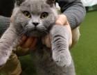 出售纯种英短蓝白蓝猫活体