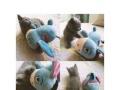 自家萌宠蓝猫找新家