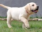 广东南官狗场 30只拉布拉多幼犬待售 实物拍摄