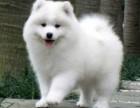 纯种微笑天使萨摩耶幼犬赛级犬后代