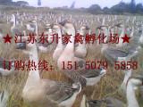 狮头鹅苗 75天长14斤左右 江苏东升家禽