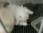 出售垂耳兔,猫猫兔