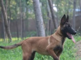 纯种比利时马犬 兴奋度高 警觉性强 动作灵敏