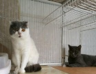 预订英短蓝白母猫 300元预订正八字英短蓝白小母猫一只