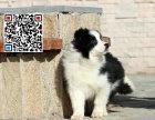哪里出售边境牧羊犬 纯种边牧多少钱