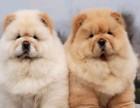 重庆哪有松狮犬卖 重庆松狮犬价格 重庆松狮犬多少钱