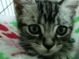 超萌美短虎斑猫带猫笼猫粮猫砂猫玩具